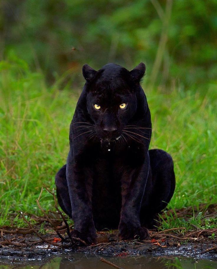 картинки черных котов пантер заставили показать трусы