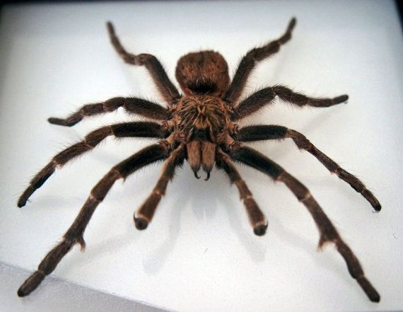 Real spider taxidermy in a double glass frame / by TarantulaBox