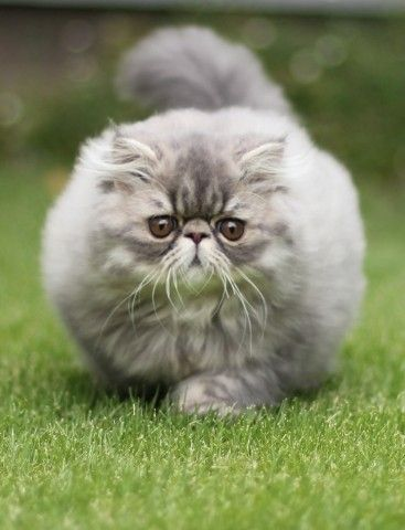 here kitty kitty- Persians have owned me for 22 years now. :)