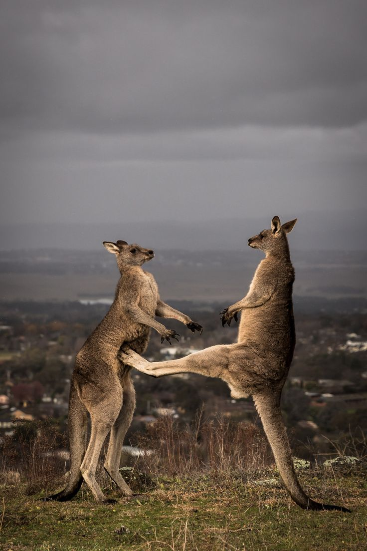 These Stunning Photos Prove Boxing Kangaroos Are Actually A Thing