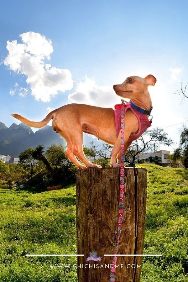 Title Everything You Need To Know About Chihuahuas Chihuahua