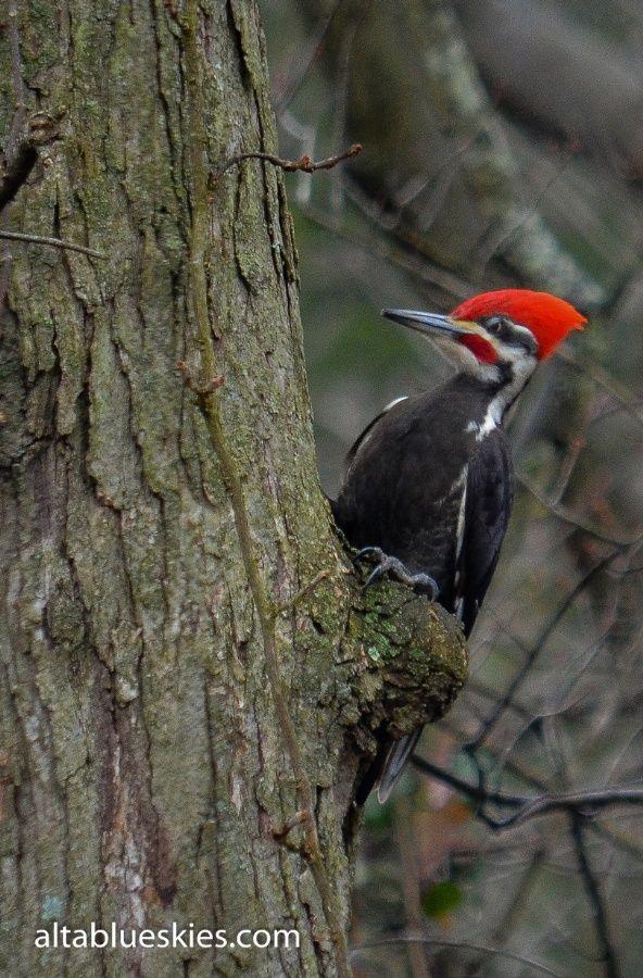 Pilated Woodpecker