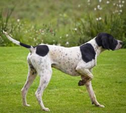 English Pointer Dogs Historical | Pointer Dog Breed Information
