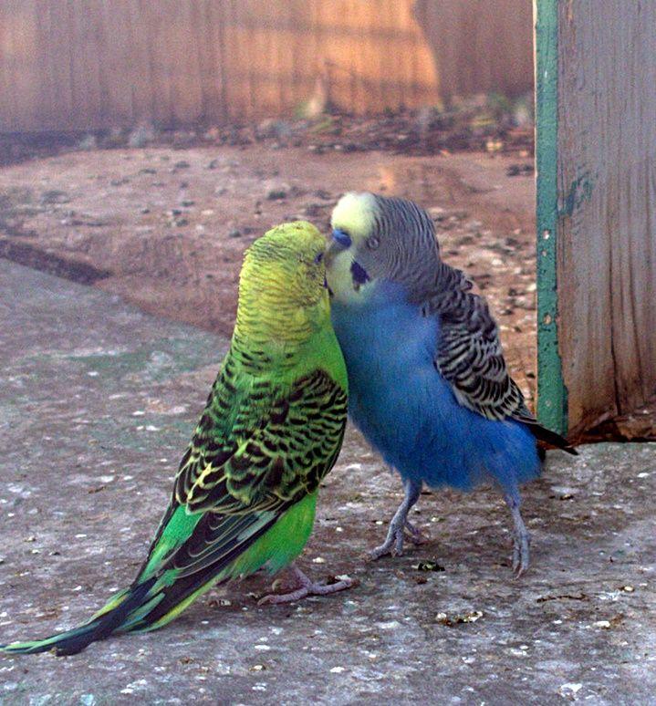 Parakeets in Holon cactus park birdhouse #Holon #parakeet