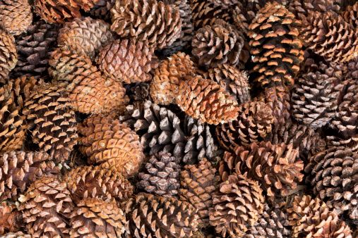 Pinecones. Sell as lot/$1 each.