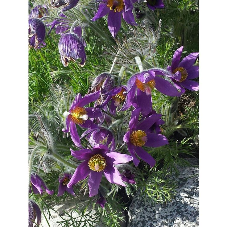 Blåvioletta stora upprätta, klocklika blommor som är håriga på utsidan och sitter i toppen på stadiga stjälkar. Bildar tuvor. Soligt. Väldränerat. Växer vild på torr, kalkrik hedmark, men klarar sig på de flesta torra, lätta jordar. Dekorativa fröställnin