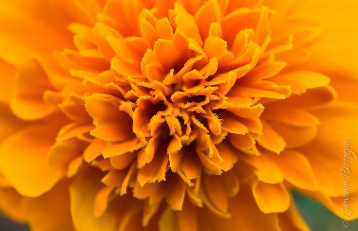 Il tagete, o garofano indiano, è una pianta fiorita erbacea appartenente al genere Tagetes ed è originario dell'America centrale e dell'America del sud.
