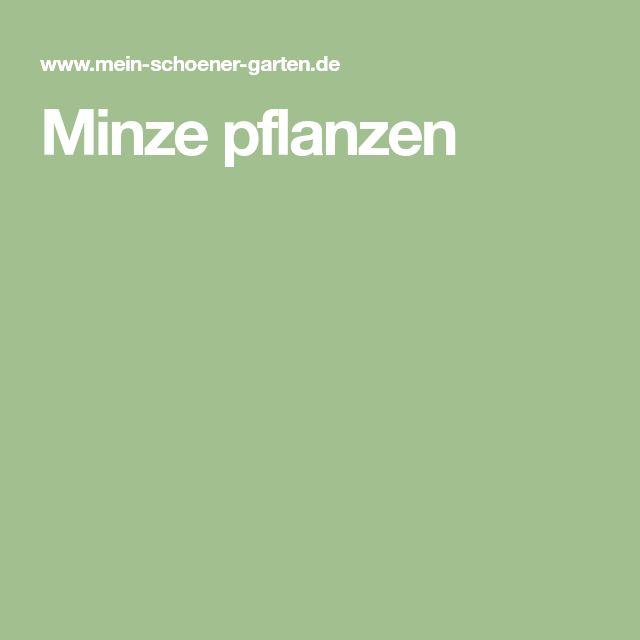 Minze pflanzen