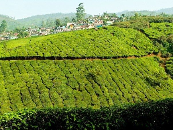 Зеленые ковры чайных плантаций в Индии - Путешествуем вместе