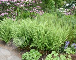 Male fern, Dryopteris filix mas. UK native plant. Evergreen fern