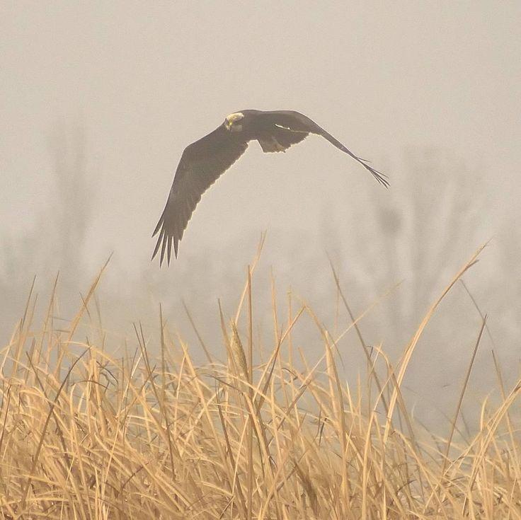 #abrazos_de_niebla #hugs_of_fog #vuelodelaguila #eaglefight #raptors #rapaces #marsheslife #vidaenlasmarismas #marshes #aiguamolls #marismas #birdswaching #birds #birdsphotography #fotosdepajaros #natureshots #naturelovers #freelife #freelifestyle #caminandoconmochilaycamara #walkingwithbackpackandcamera #buenasvibraciones #goodvibes #gypsysoul
