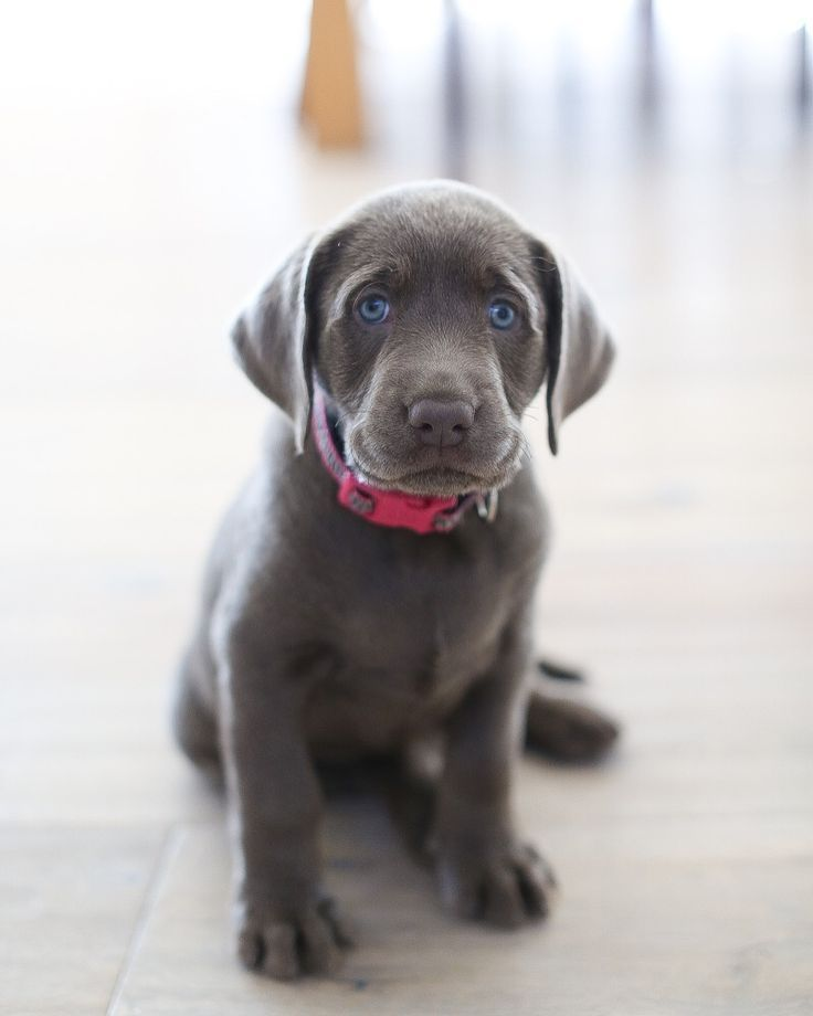 The Akc National Championship Is The Largest Dog Show In North America And Is Presented By Royal Canin It S Br Labrador Puppy Dogs And Kids Best Dogs For Kids