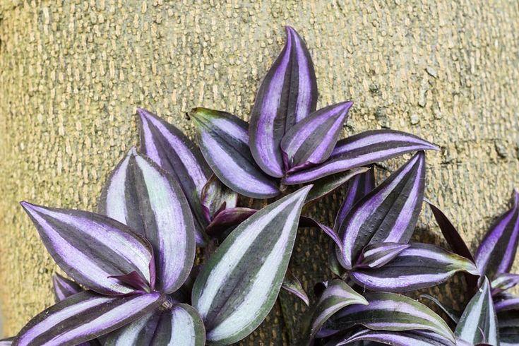 Juoru (Tradescantia albiflora)