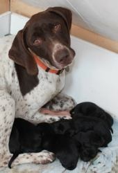 KANSAS ~ Elsie and her babies is an adoptable German Shorthaired Pointer Dog. If you are interested in adopting Ellie, her adoption fee will be 250.00  She is fostered in Kansas.  If you live outside of MO, AR, & KS, please visit www.gsprescue.org to find a rescue near you.  If you're interested in learning more about her potential puppies please follow us at MAK German Shorthaired Pointer Rescue on Facebook. We'll post updates as we get them. Arkansas German Shorthaired Pointer Rescue