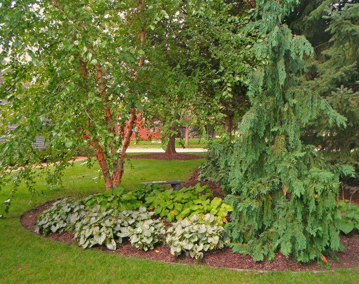 Landscaping Ideas For Cedar Trees : Garden ideas screening private weeping alaskan cedar