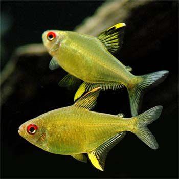 Lemon Tetra 3.5cm - 10x - $38.00 : Second Nature Aquariums, Live Fish & Plants Delivered Australia Wide