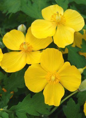 194 best flower orders images on pinterest flower gardening stylophorum diphyllum celandine poppy perennial zones 4 9 height 12 mightylinksfo