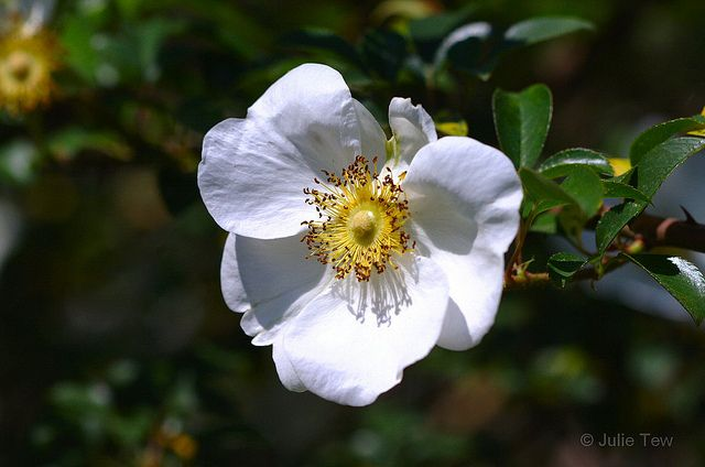 1000 images about cherokee rose on pinterest cherokee for Cherokee rose