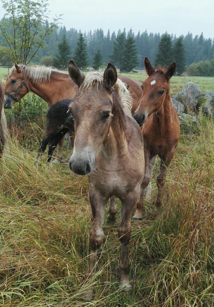 #omaisapu #varsat #foals #Finland