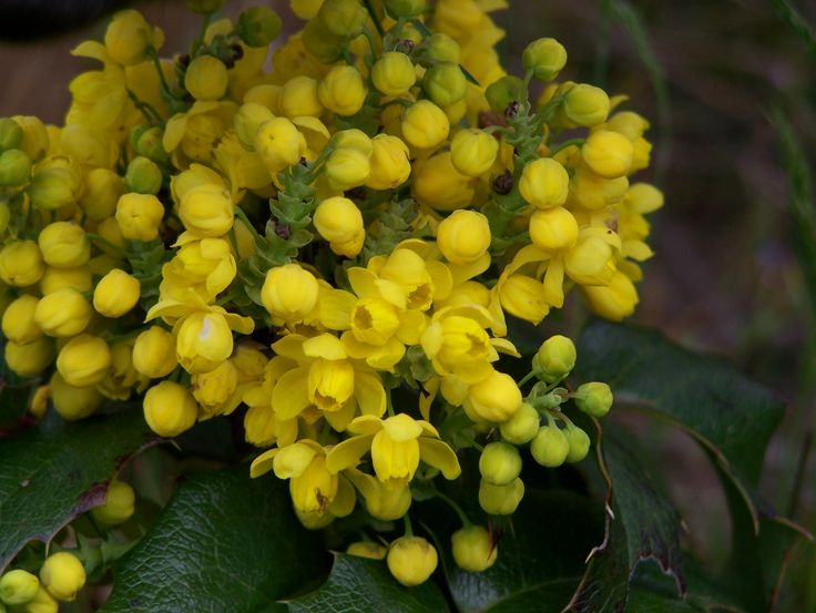 The oregon grape is the state flower of oregon body art for Oregon craft floral