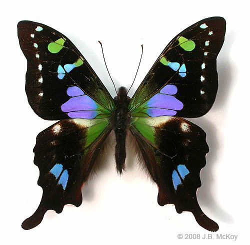 Purple spotted swallowtail, Graphium weiskei. This incredible butterfly (purple is an unusual colour in butterflies) occurs in Papua New Guinea: