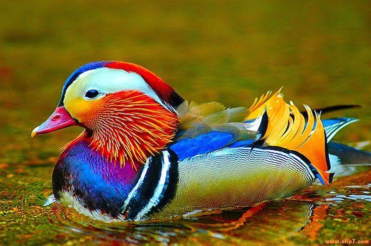 Fotografias aves: Fotografia pato silvestre colorido  [14-4-16]