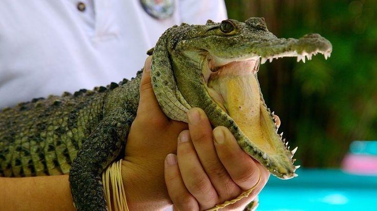 #Crococun Zoo es un lugar ubicado al sur de #Cancún en el kilómetro 30 de la carretera Cancún–#Tulum en donde puedes ver muy de cerca a más de 300 cocodrilos, ademas de diversas especies. #Asesordeviajes
