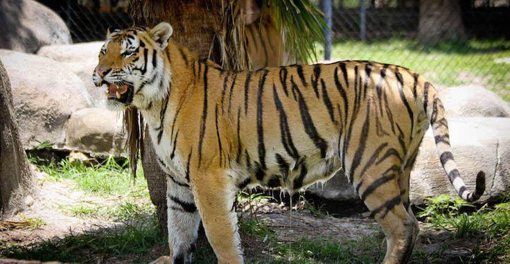 Tiger at Big Cat Habitat & Gulf Coast Sanctuary, Sarasota, Florida, USA. Photo by Debi Pittman Wilkey | Must Do Visitor Guides