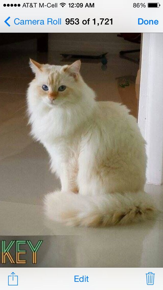 A 1 Year Old Ragdollcatspot Traditional Flame Lynx Ragdoll The Body Is Noticeably Lighter Than The Points Catsbreedsra Ragdoll Cat Cute Cats Future Cat Lady