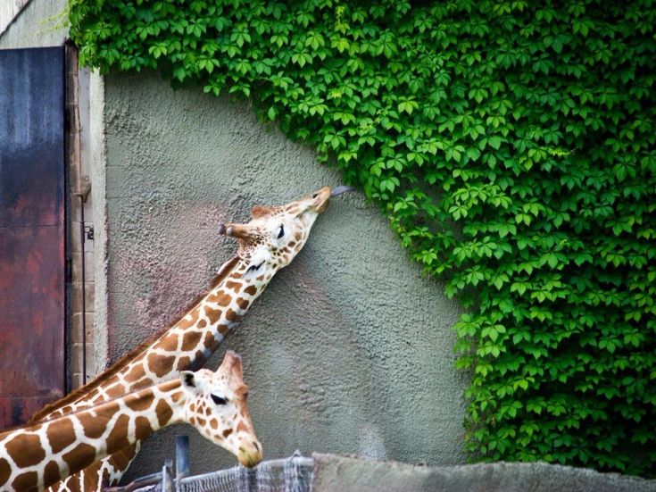 SOUND: https://www.ruspeach.com/en/news/13430/     Жирафы - это самые высокие наземные животные на планете. Они являются единственными животными, которые не умеют зевать. Однако жирафы умеют издавать много интересных звуков. Они умеют мычать, шипеть, рычать и свистеть. Длина языка жирафа - пятьдесят сантиметров. Его язык абсолютно черный. Хвост жирафа тоже очень длинный и равен двум с половиной метрам. Рисунок на шкуре жирафа уникален, как отпечатки пальцев у людей. Жирафы ум