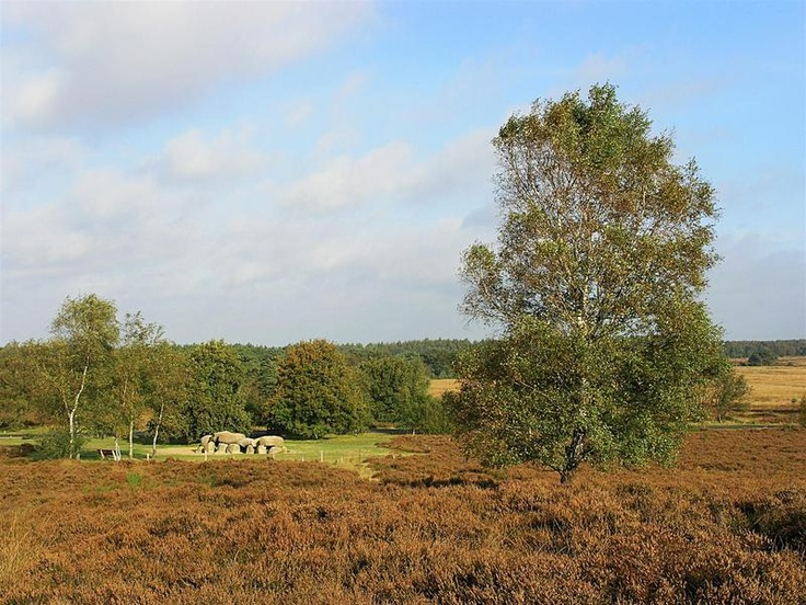 Heather near Havelte ,Drenthe