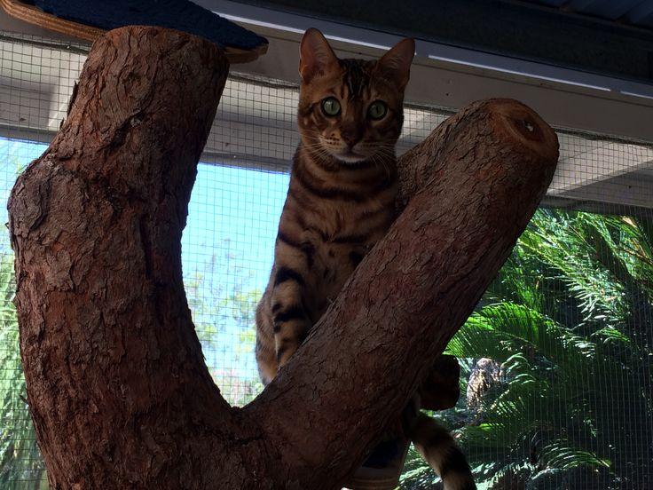 Bengal cat Zeus sitting on his scratching log