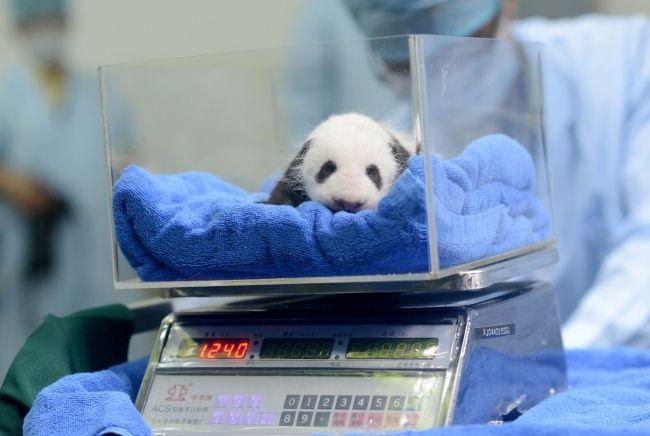 Pesée d'un bébé panda.