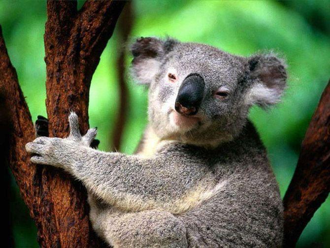 Коала фото обои коала животными, коала фото обои животных, коала фотографии диких животных, картинки с животными