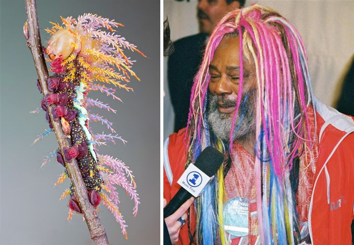 A Saturniidae Moth's Caterpillar Looks Like George Clinton