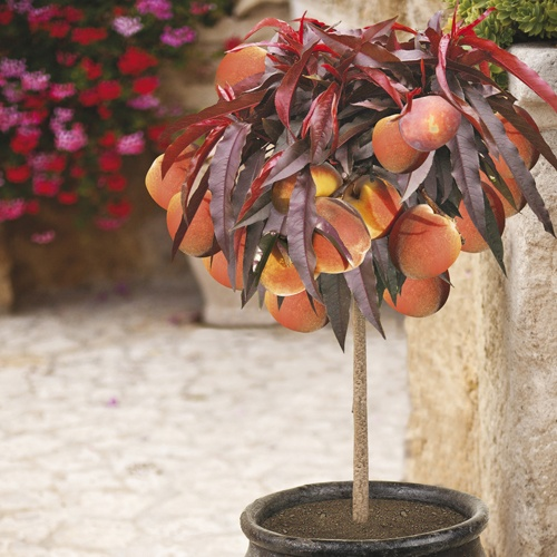 Red-leaved Patio fruit Peach tree