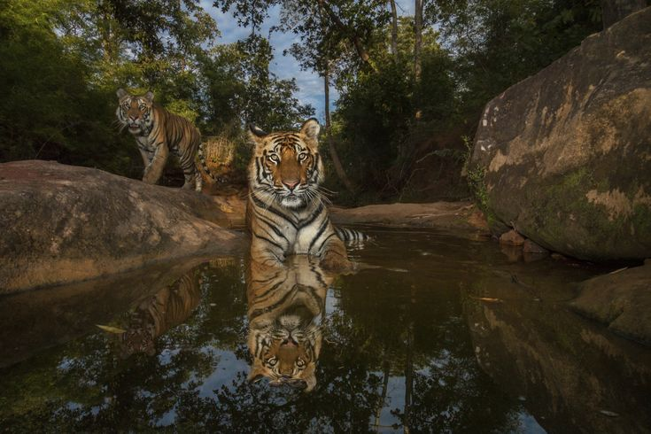 Beautiful, wild tiger. Photo by: Steve Winter, National Geographic Wildlife Photo Journalist. See all his beautiful tiger photos at: stevewinterphoto.com