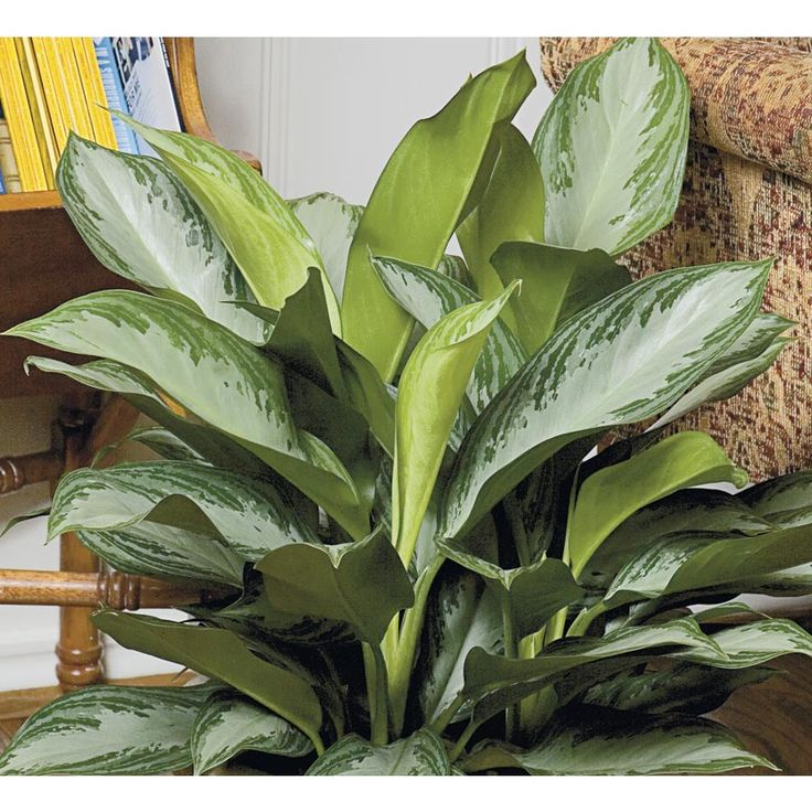 Indoor Evergreen Trees: Shop 1.4-Quart Chinese Evergreen (L20910HP) At Lowes.com