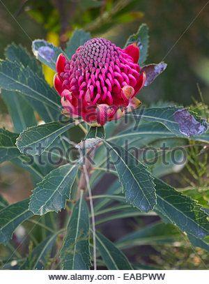 Image result for waratah flower