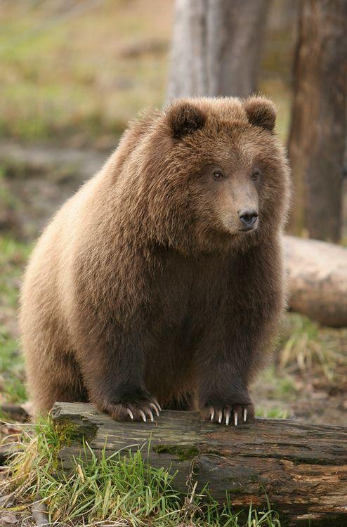 Brown Bear Cub - Posing Pretty (by AlaskaFreezeFrame)