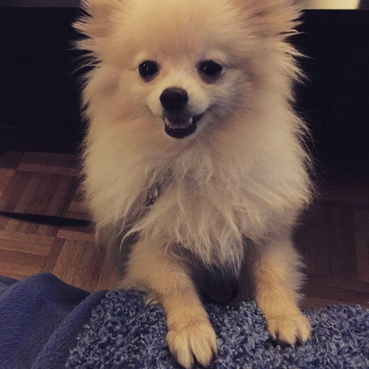 Pomeranian Characteristics 17 Best images about P...