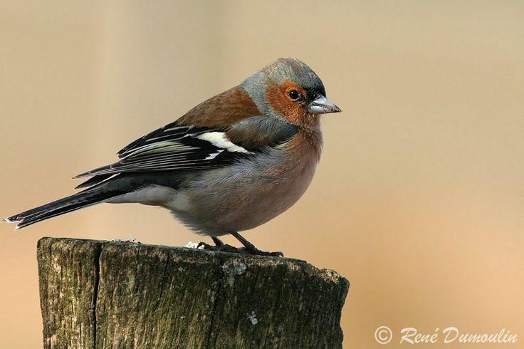 Les 25 meilleures id es de la cat gorie pinson des arbres sur pinterest jolis oiseaux motifs - Eloigner les oiseaux des arbres fruitiers ...
