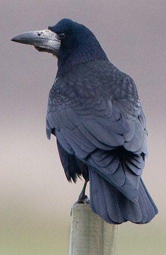Corvid | Crow | Raven | Rook | La Corneille | Il Corvo | 烏 | El Cuervo | ворона | 乌鸦 | Rook