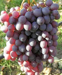 Vitis vinifera 'Anja' ® - Rote Tafeltraube (kernlos)