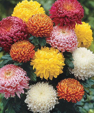 Another great find on #zulily! Mixed Football Chrysanthemum Plant - Set of Three #zulilyfinds
