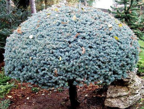 Kigi Nursery - Picea pungens ' Globosa ' Lolipop Dwarf Colorado Blue Spruce, $15.00 (http://www.kiginursery.com/dwarf-miniatures/picea-pungens-globosa-lolipop-dwarf-colorado-blue-spruce/)