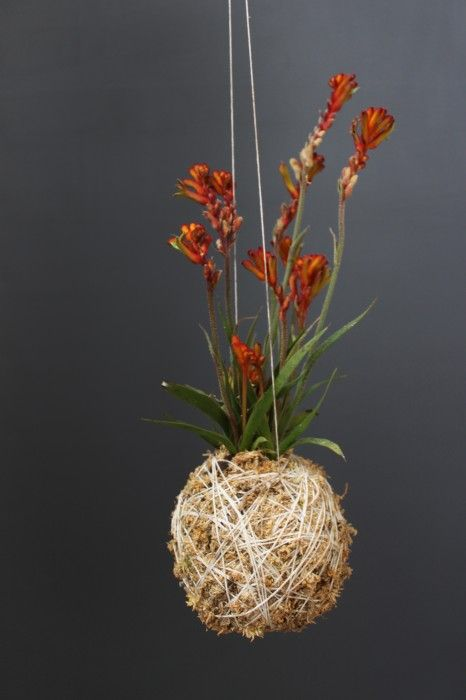 Love this for hanging from the ceilings at the edges of the reception room  Mister Moss - Kangaroo Paw, Natural