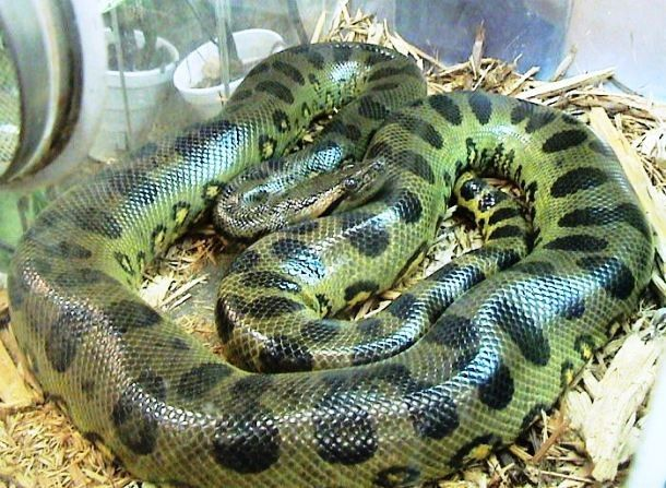Native to tropical rainforests of South America, the green anaconda is considered the heaviest and largest snake in the world. It can reportedly exceed 227 kg (500 lb) in weight and reach almost 9 m (30 ft) in length.