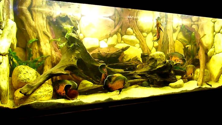 61 best fresh water fish images on pinterest for Yellow fish tank water