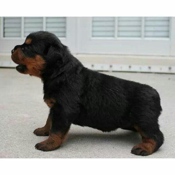 I want a Rottweiler so bad!!!